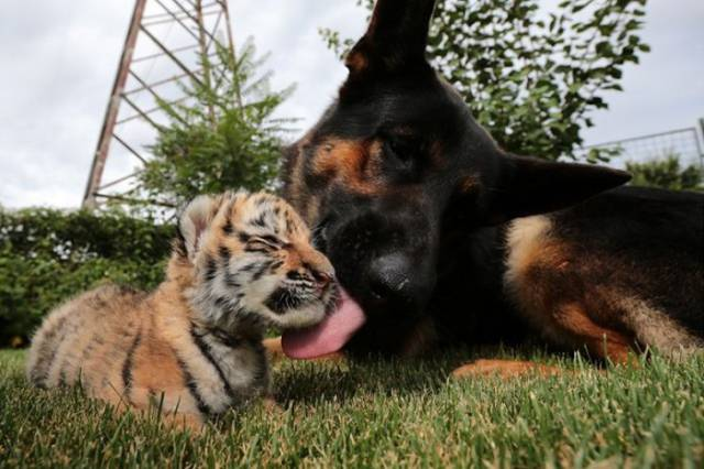 A Tiger Cub and Its Sweet Canine Family