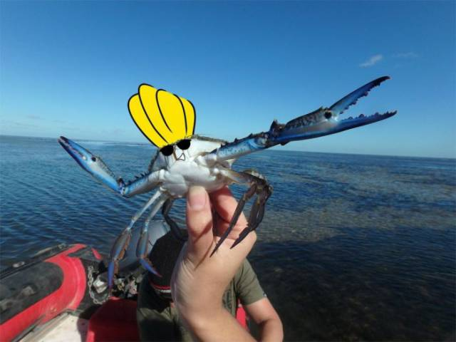 The Cool Blue Crab That Is Taking the Internet by Storm