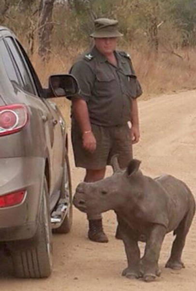 Baby Rhino Looks for His New Family in the Strangest Place