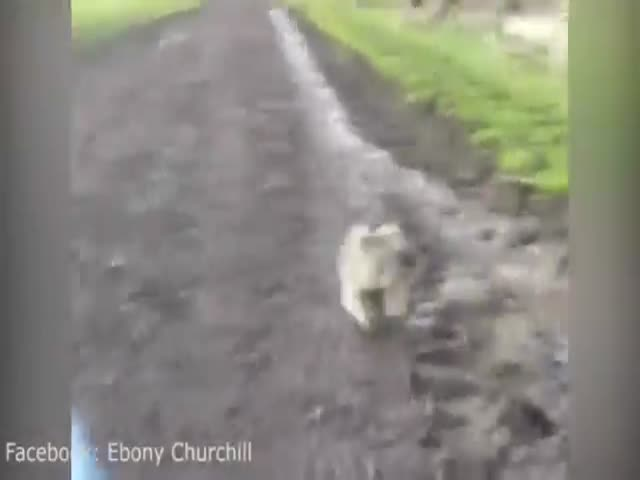 Traumatised Woman Gets Chased by a Cute Koala Bear