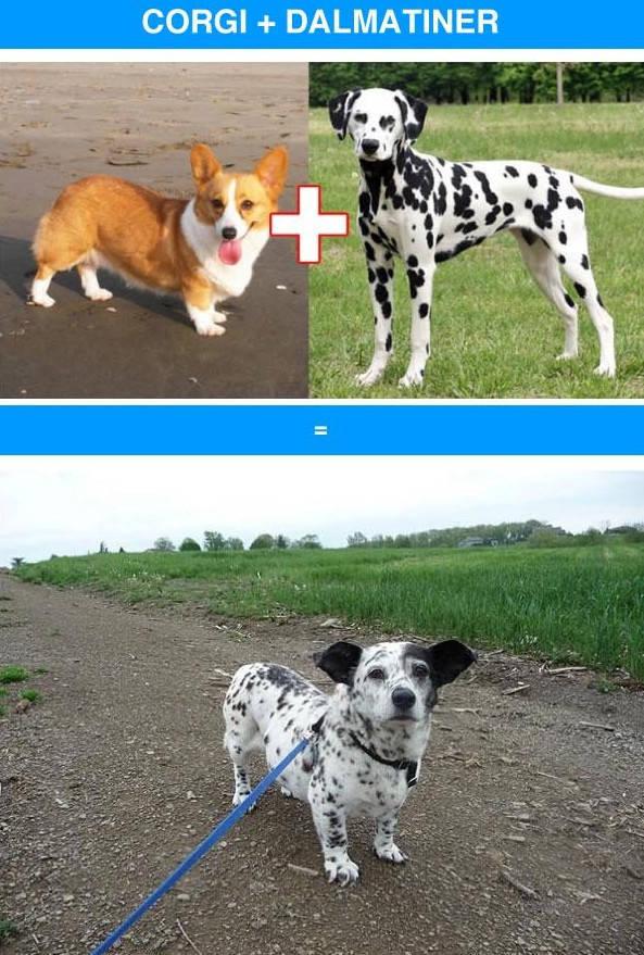 Awesome Dog Mashups between Unlikely Breeds