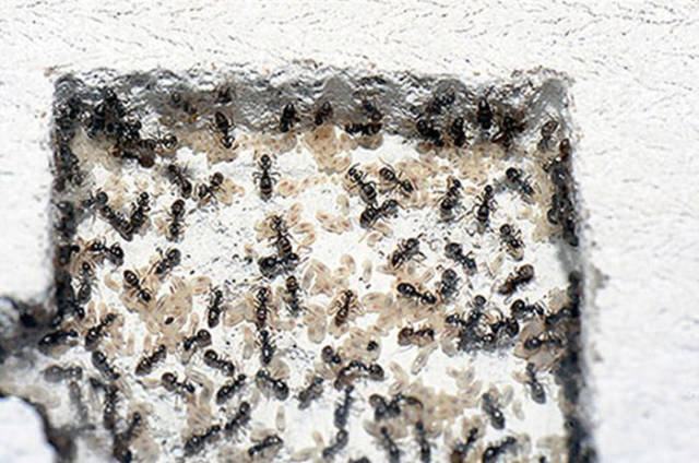Now You Can Make Your Own Ant Colony at Home