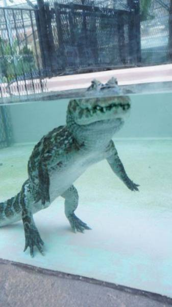 Alligators Can Walk Perfectly Upright Under Water