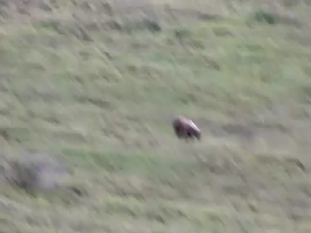 Young Bear Amuses Himself by Rolling Down a Hill