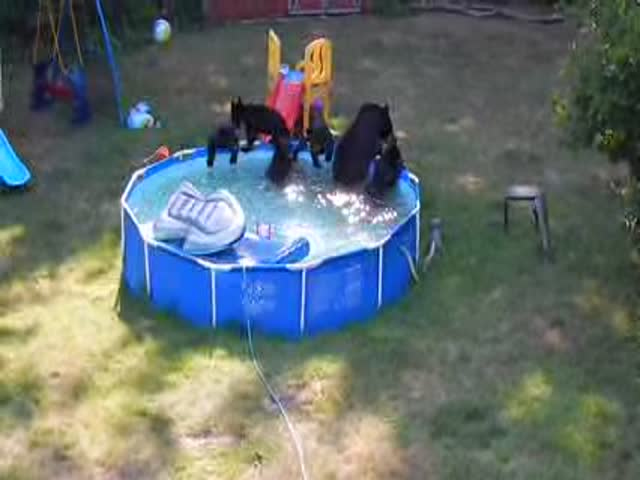 A Family of Black Bears Takes a Dip in Swimming Pool