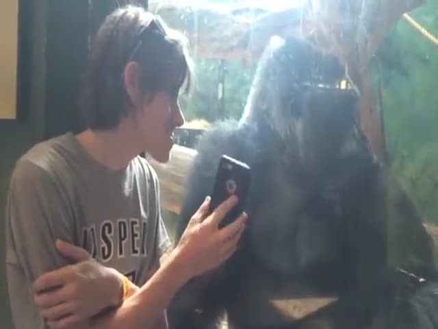 Gorilla's Surprising Reaction to Seeing Pictures of Other Gorillas