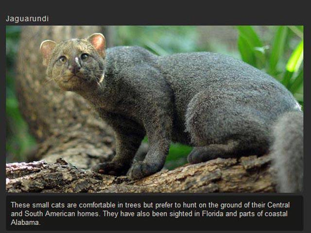 A Few of the Weird and Wonderful Cat Species in the World