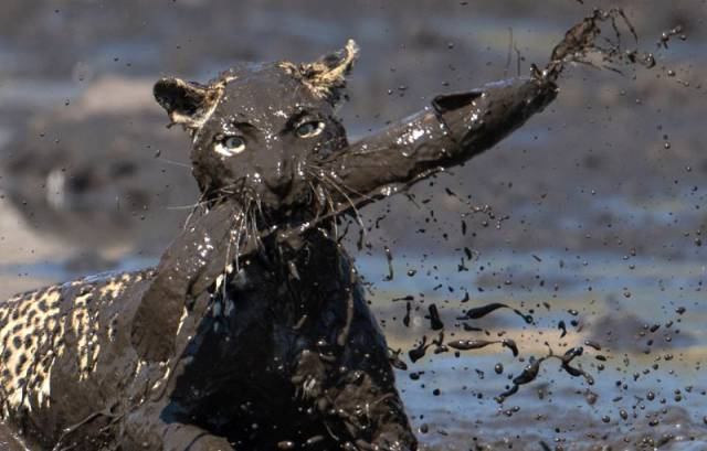 Leopard Goes Mud Fishing in Botswana