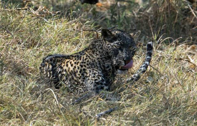 Leopard Goes Mud Fishing in Botswana