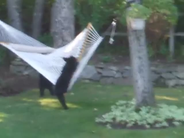 Bears Playing On A Hammock