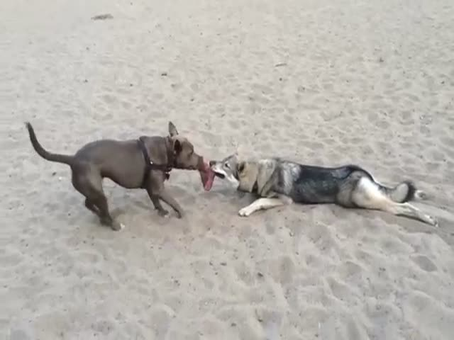 Lazy Dog Has Tug of War All Figured Out