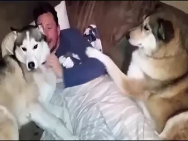 This Jealous Husky Is Not at All Happy to Share the Attention