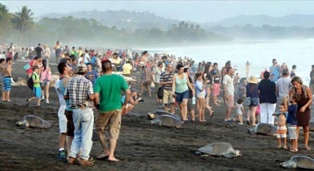 Costa Rican Tourists Interrupt Nature by Preventing Sea Turtles from Laying Their Eggs