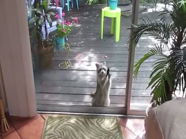 Raccoon Begs for Food by Knocking on the Glass Door with a Stone