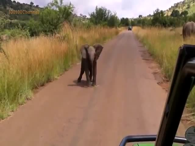 Baby Elephant Tries to Be Threatening but Just Looks Cute Instead