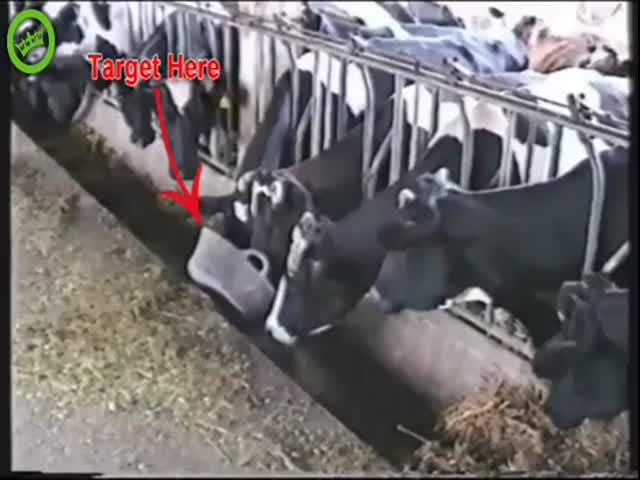 This Is One Clever Cow