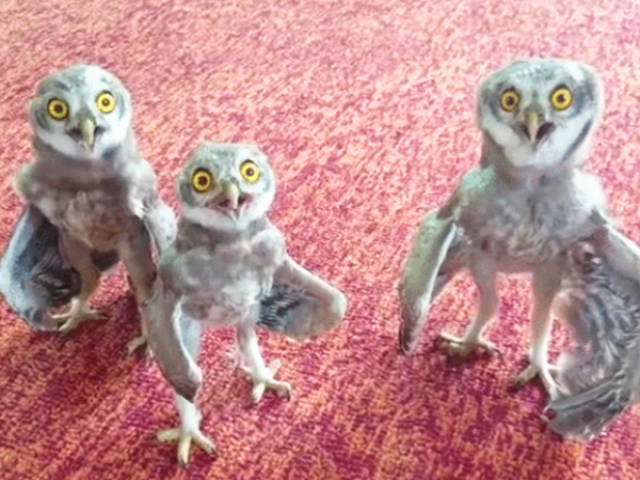 Owls Are Really Bizarre Creatures