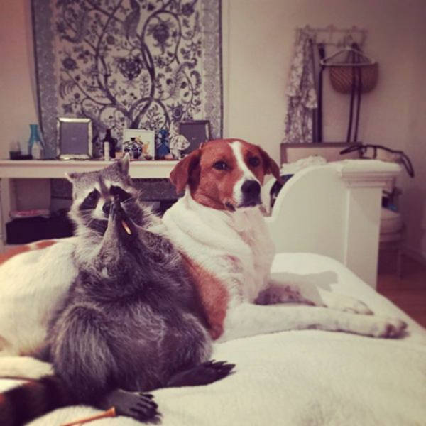 The Baby Raccoon That Was Raised by a Family of Dogs