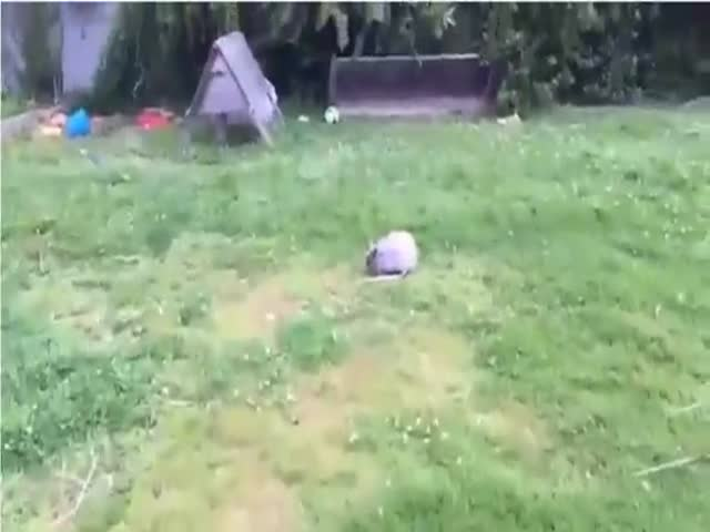 Angry Bunny Attacks and Terrified Man Runs for His Life