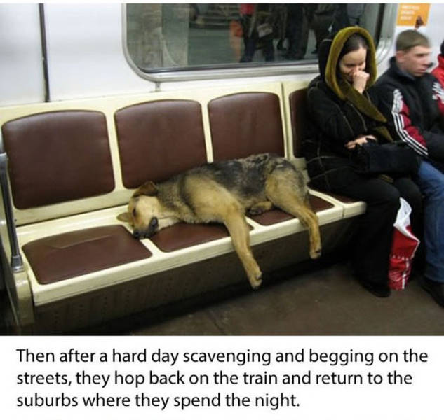 These Smart Moscow City Dogs Ride the Subway System Everyday
