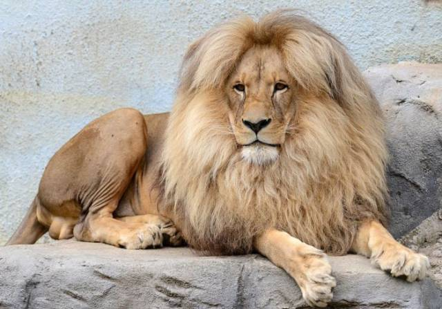 "Leon the Lion Is the ""Mane"" Attraction at the Usti nad Labem Zoo"