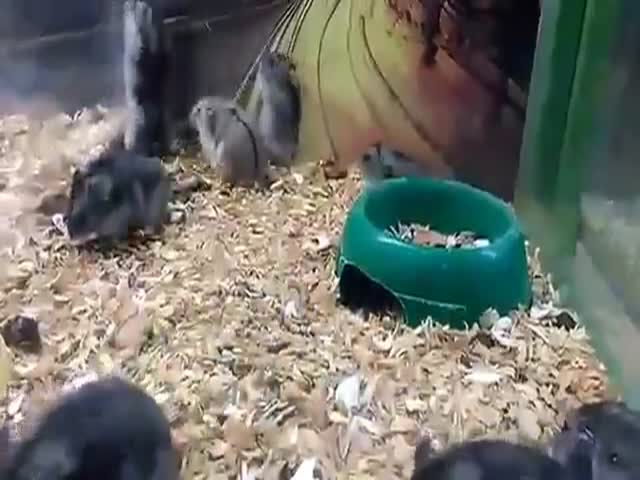 This Hamster Is a Backflip King