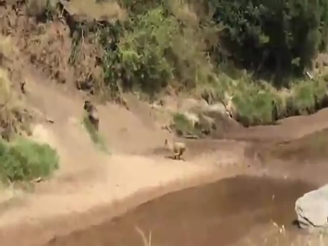 Lion vs. a Wildebeest in a Surprise Chase