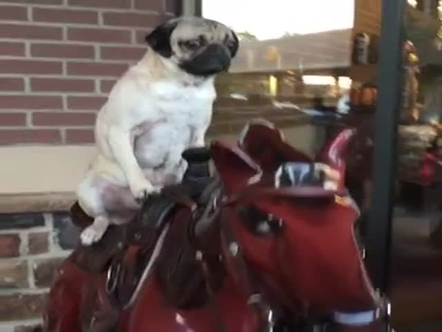Pug Riding Mechanical Horse