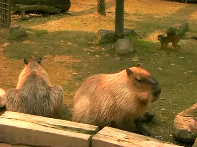 Monkeys Bully an Innocent Capybara at the Tobu Zoo in Japan