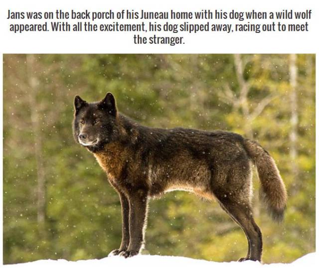 This Wild Wolf Is As Friendly as a Pet Dog