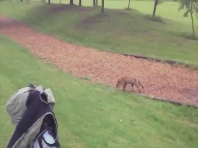 This Sneaky Fox Will Not Stop Until He Successfully Steals This Man's Golf Clubs Cover