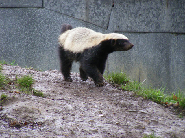 Some Fun Facts about the Honey Badger That You Will be Surprised to Learn