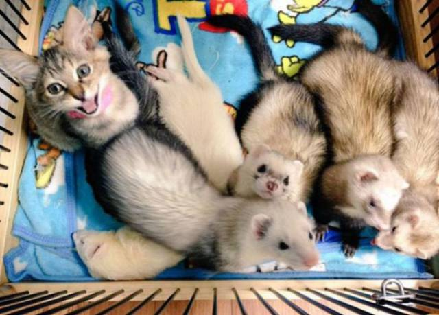 Tiny Kitten Lives Happily as Part of a Cute Ferret Family