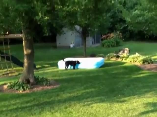 Excitable Labrador Runs Away With Inflatable Pool