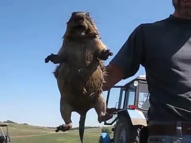 A Screaming Marmot Is the Strangest Thing You Will Ever Hear