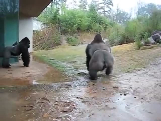 Timid Gorilla Takes a Sneaky Run Outside While It's Raining