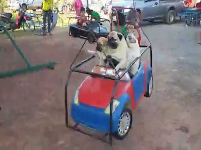 Adorable Pug Family Enjoy a Fun Carousel Ride at the Fair