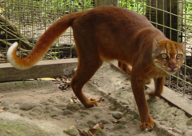 Wild Cat Species That Are So Uncommon That You've Probably Never Even Heard of Them Before