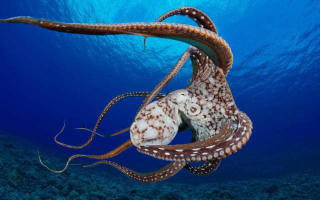 Interesting Facts about the Ocean-dwelling Creature Commonly Known as the Octopus