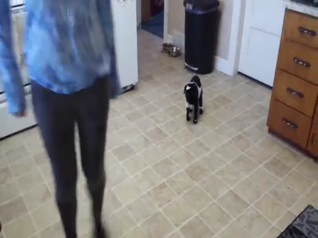 Pygmy Goat Gets the Hang of Hopping