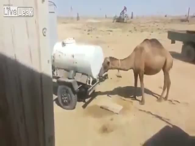 This Is one Smart Camel