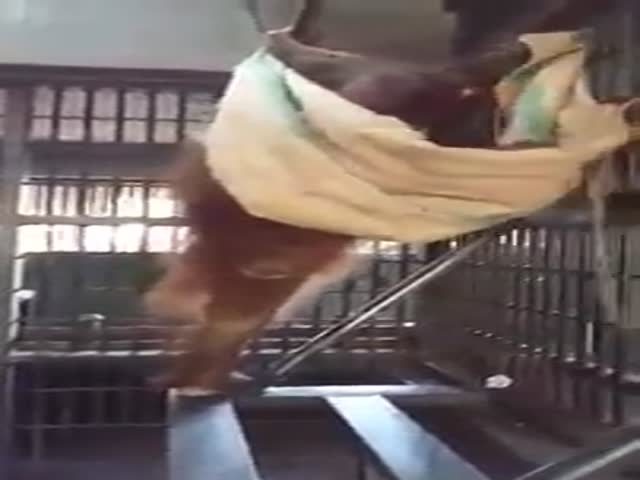 Smart Orangutan Figures Out How to Build a Hammock Inside Her Cage All on Her Own