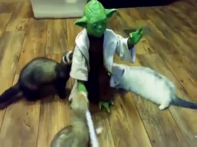 Yoda Gives Inquisitive Ferrets a Lesson on Lightsabers