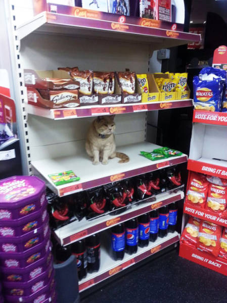 This Cat Believes That His Home Is a Supermarket and No One Can Change His Mind