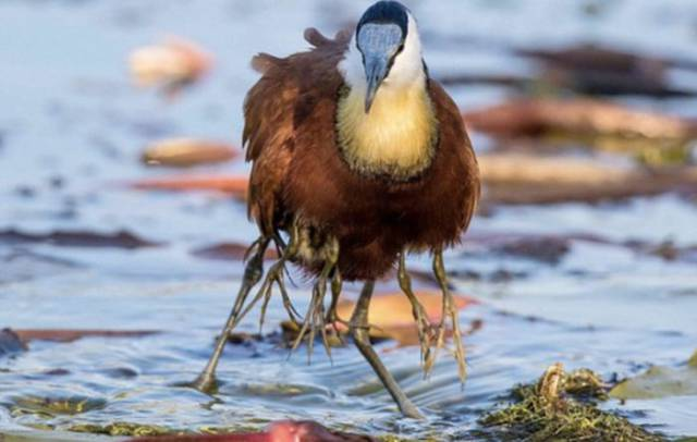 "Baby Jacana Birds are the Kings at ""Hitching a Ride"""