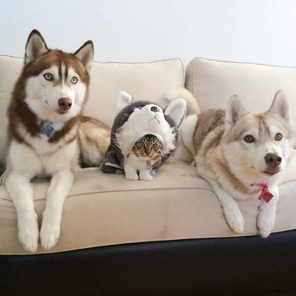Huskies Adopt a Tiny Kitten and Now She Is 100% Part of the Family