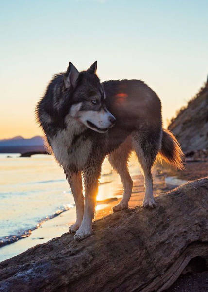 Rescued Husky Pup Saves His Owner from A Life of Abuse