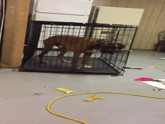 This Boxer Can Skilfully Escape From His Doggy Cage