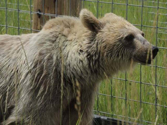 Brown Bear Transformation After She Was Rescued From A Roadside Zoo