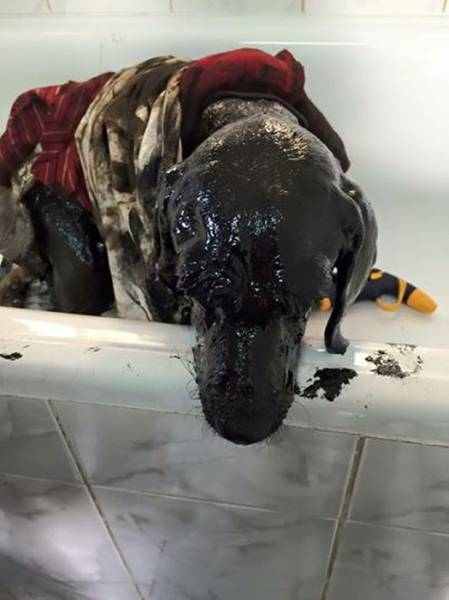 Dog Survives After It Was Stuck In A Tar Pit